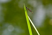 One red dragonfly resting on a green reed in the sun on bokeh foliage background in a park in Edinburgh