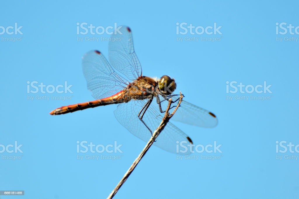 Red dragonfly on blue sky stock photo