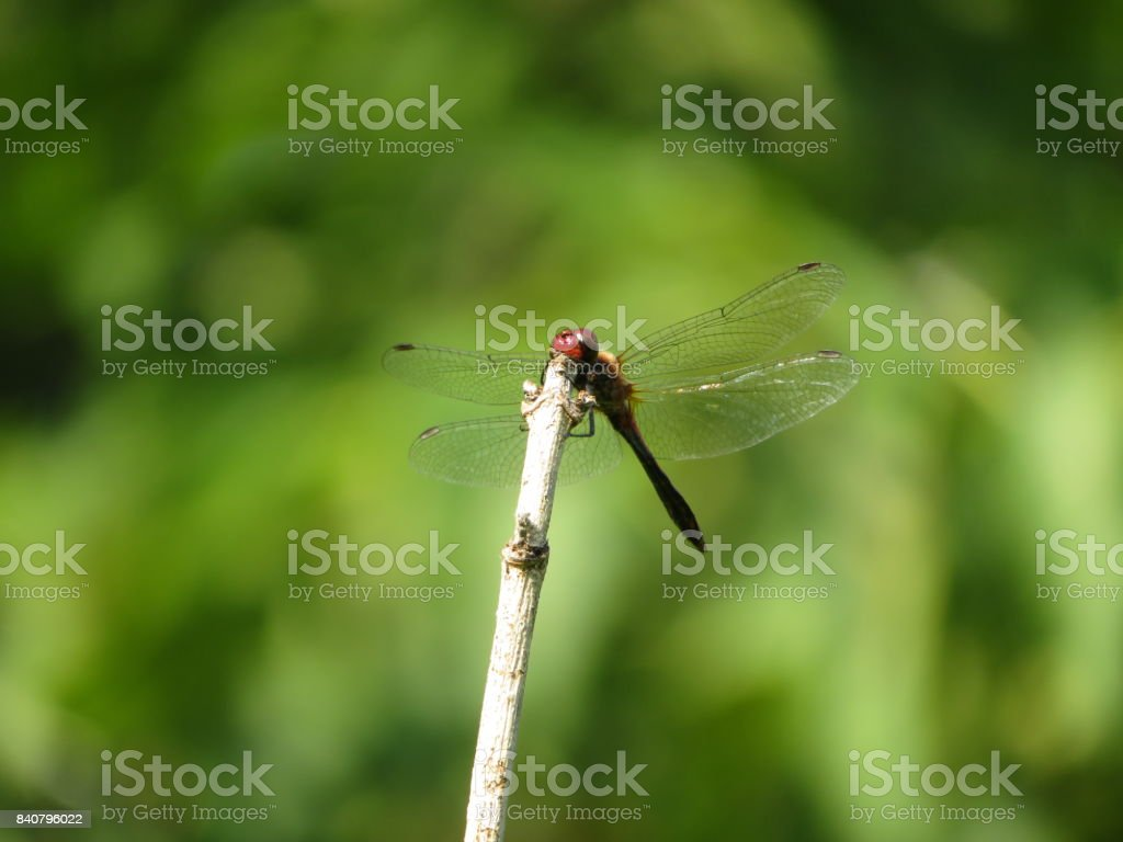 Red dragonfly on green background stock photo