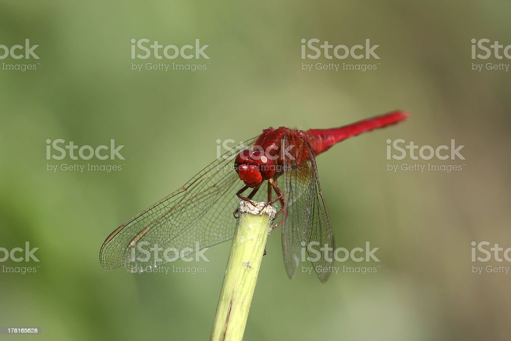 red dragonfly on the tree branch royalty-free stock photo