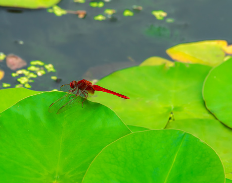 Red dragonfly over lotus leaf