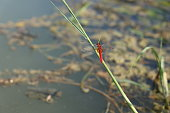 Close up of a big red Dragonfly on plant in nature water meadow