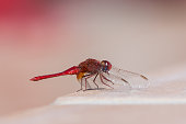 Red dragonfly waiting near to the swimming pool