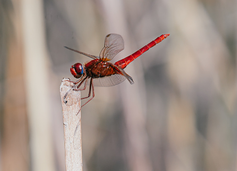 Close-up of a red dragonfly on the tree branch in the wild.