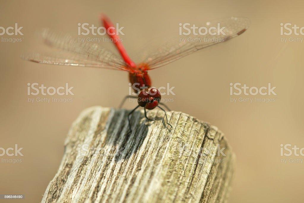 red Libelle  Lizenzfreies stock-foto