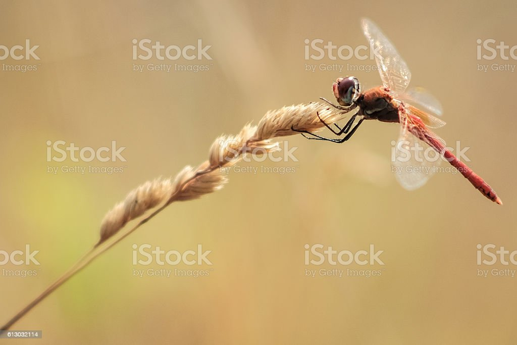 red dragonfly resting on wheat twig stock photo
