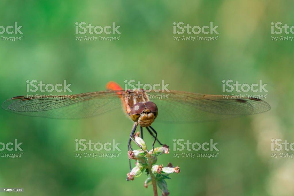 Red dragonfly - ruddy darter stock photo