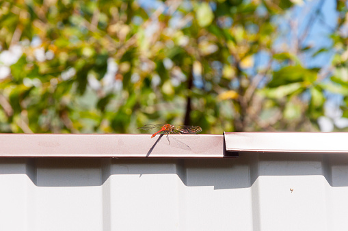 Red dragonfly sits on a metal fence on the background of a green meadow