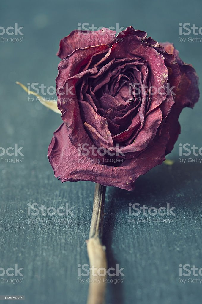 Red Dried Rose Cloe Up stock photo