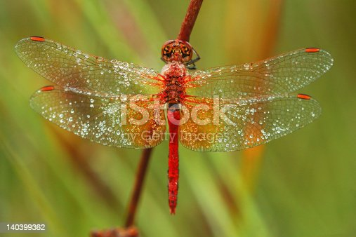 Red Drogonfly