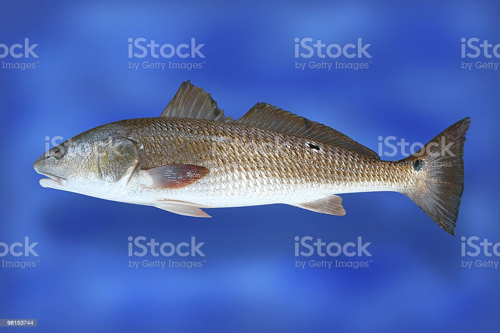 Red Drum Fish royalty-free stock photo