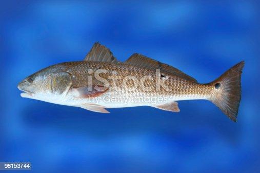Pesce Rosso Tamburo - Fotografie stock e altre immagini di Ambientazione esterna