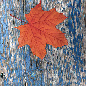red dry maple autumn leaf on an old wooden blue background