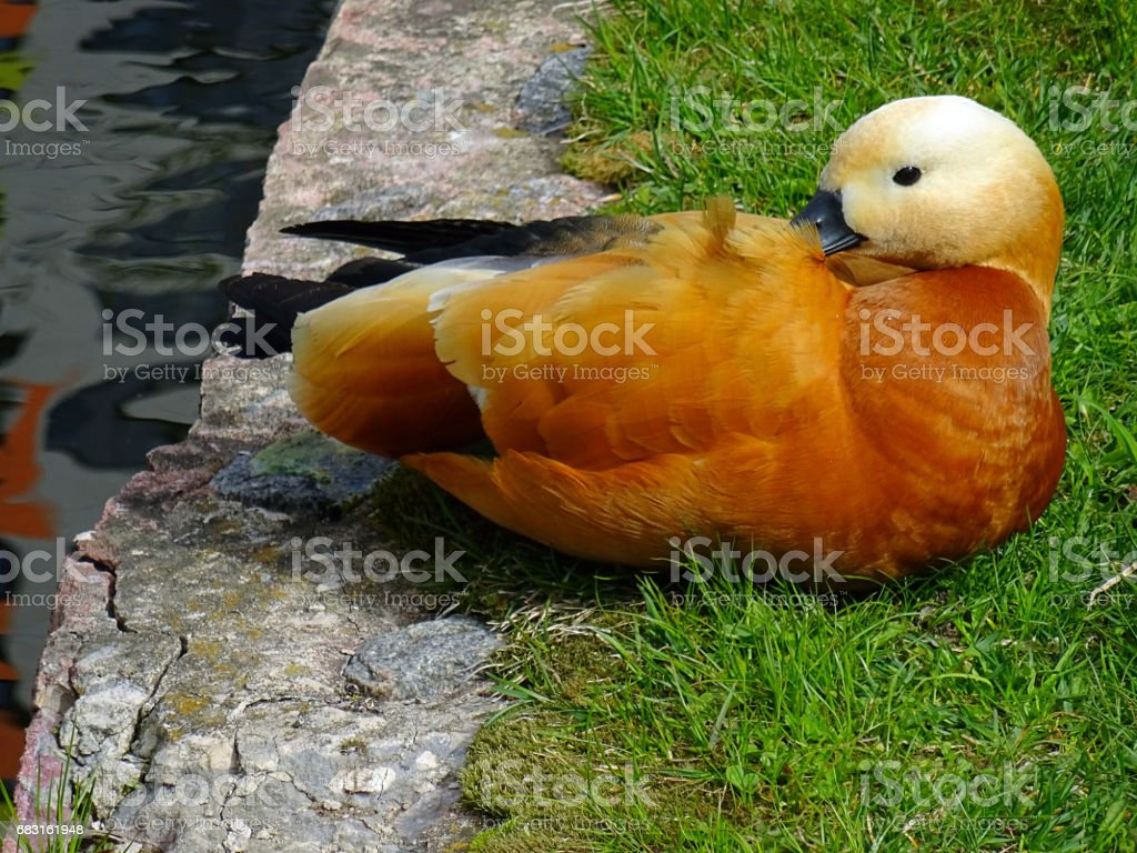 Red ducks near water in a large city in spring 免版稅 stock photo