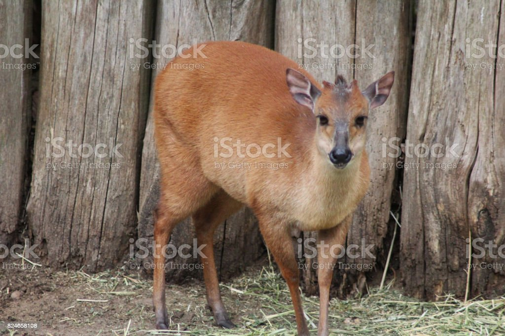 red duiker (Cephalophus natalensis) stock photo