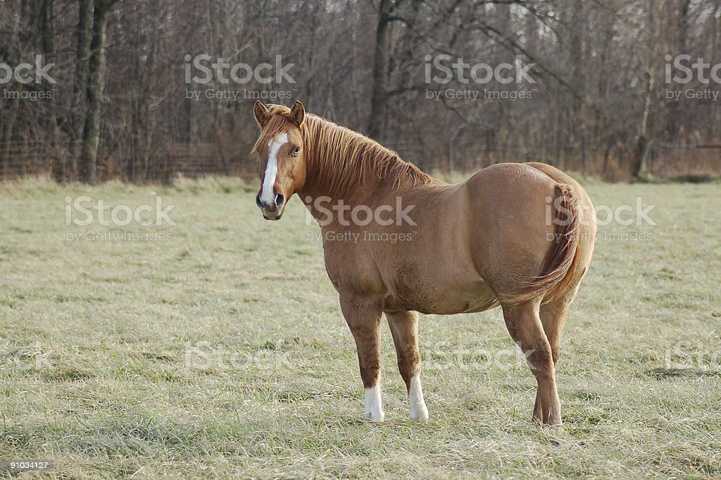 Red Dun Horse Overweight stock photo