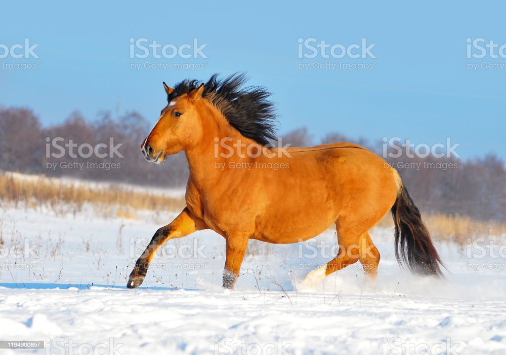 Red Dun Vyatskiy Draft Horse Runs Free In Winter Stock Photo Download Image Now Istock