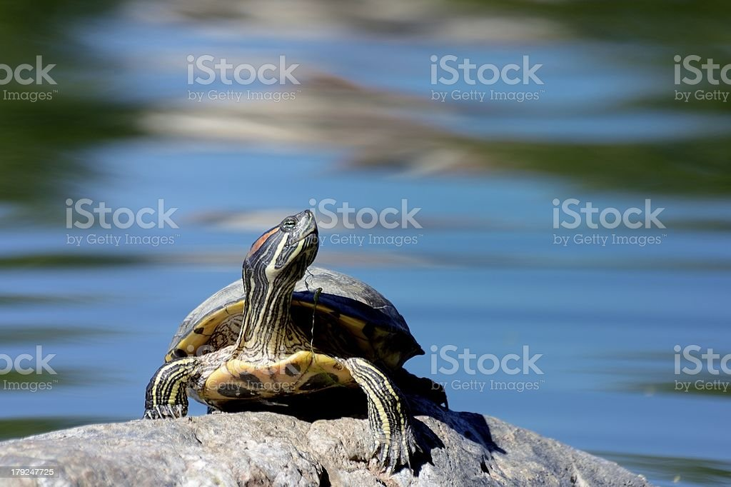 Red ear Slider Turtle on a rock stock photo
