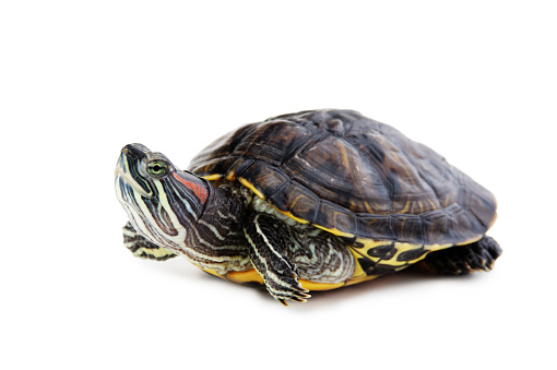 istock red ear turtle  isolated on white background 1075053702