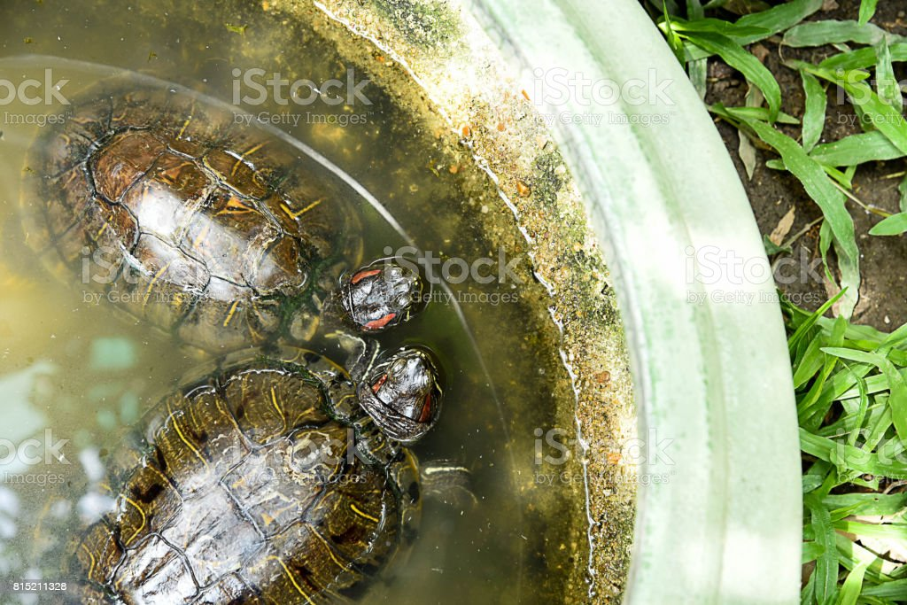 Red - ear turtle stock photo