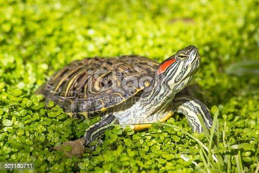 istock Red eared slider - Trachemys scripta elegans turtle 521180711