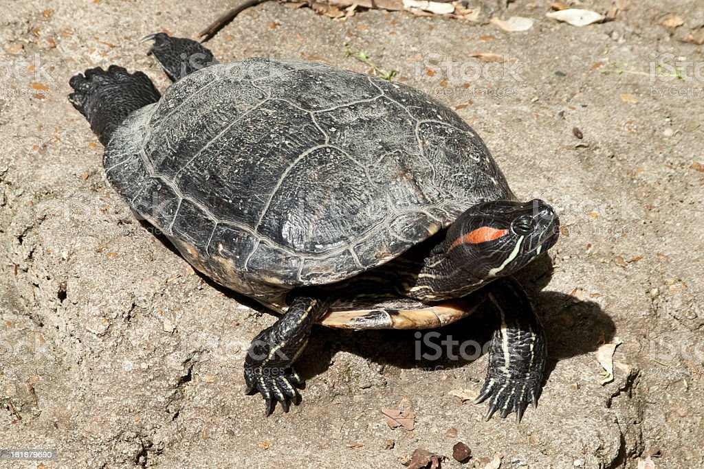 Red Eared Slider Turtle Basking In The Sun stock photo