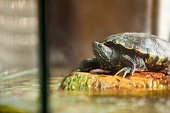 A close up of a red eared slider turtle relaxing on a rock inside of his aquarium.