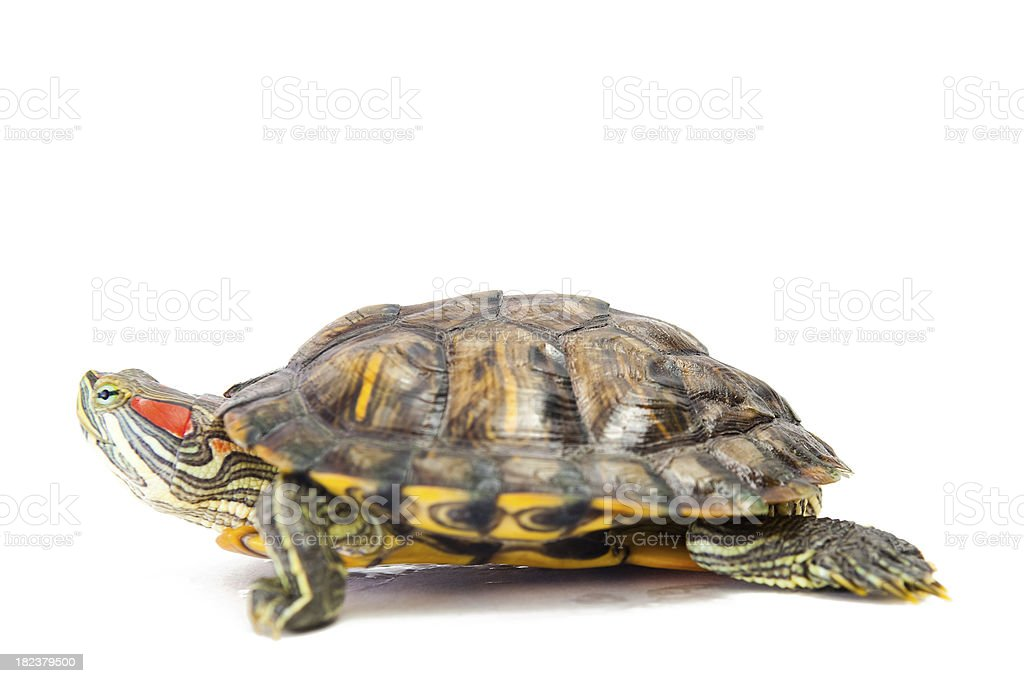 Red Eared Slider Turtle Isolated on White Background stock photo