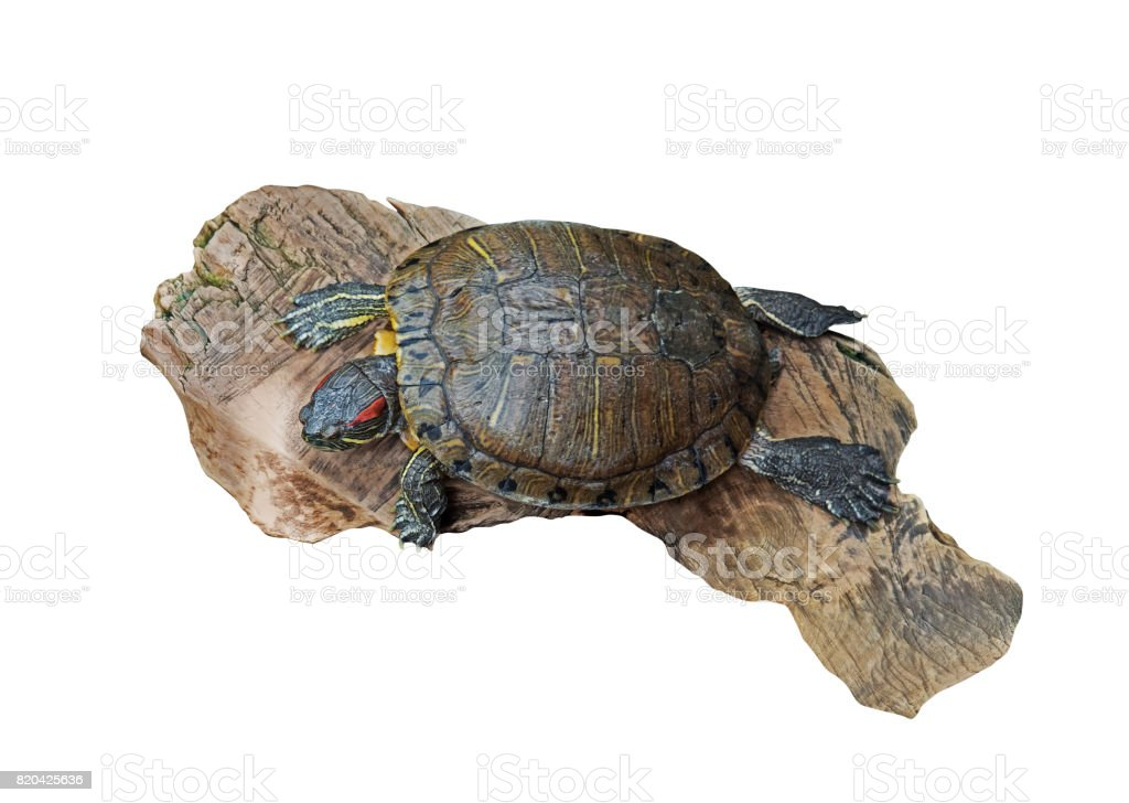 Red Eared Slider Turtle on Old Wood on White, Clipping Path stock photo
