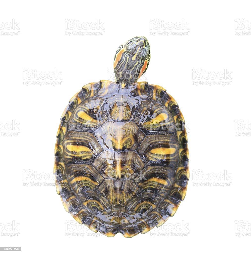 Red Eared Slider Turtle on white background royalty-free stock photo