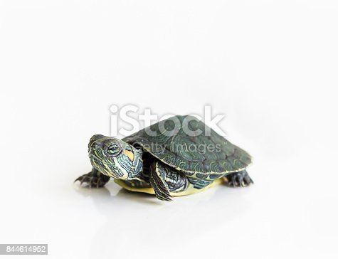 istock Red eared Slider turtle (Trachemys scripta elegans) on white background. Selective focus. Close up. 844614952