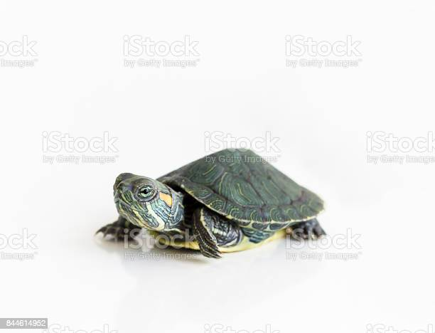 Red eared slider turtle on white background selective focus close up picture id844614952?b=1&k=6&m=844614952&s=612x612&h=lihpp cuaqrqdscsjgz 4bj0wtspxt6jprz9tznf7ko=