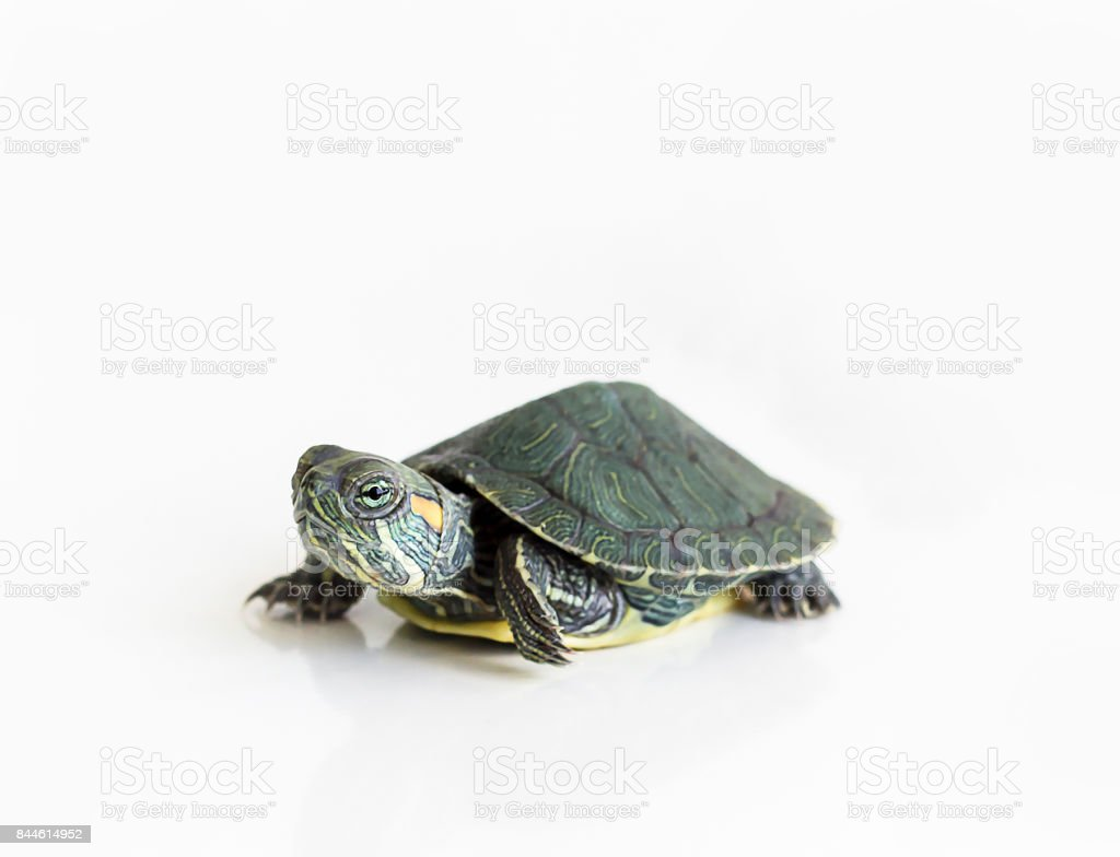 Red eared Slider turtle (Trachemys scripta elegans) on white background. Selective focus. Close up. stock photo