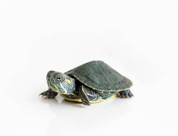 Red eared Slider turtle (Trachemys scripta elegans) on white background. Selective focus. Close up. Red eared Slider turtle (Trachemys scripta elegans) on white background. Selective focus. Close up. caenorhabditis elegans stock pictures, royalty-free photos & images