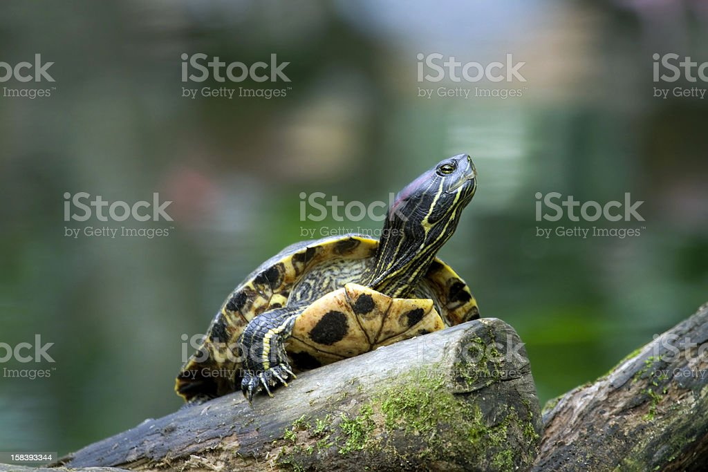 Red Eared Slider Turtle royalty-free stock photo