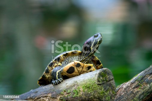 Red Eared Slider Turtle Stock Photo & More Pictures of Animal