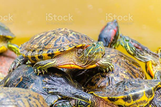 Red eared slider turtle picture id493979798?b=1&k=6&m=493979798&s=612x612&h=ygkea c6ecao8zyd77mb0cprlhqxfu mlvvcmae fru=