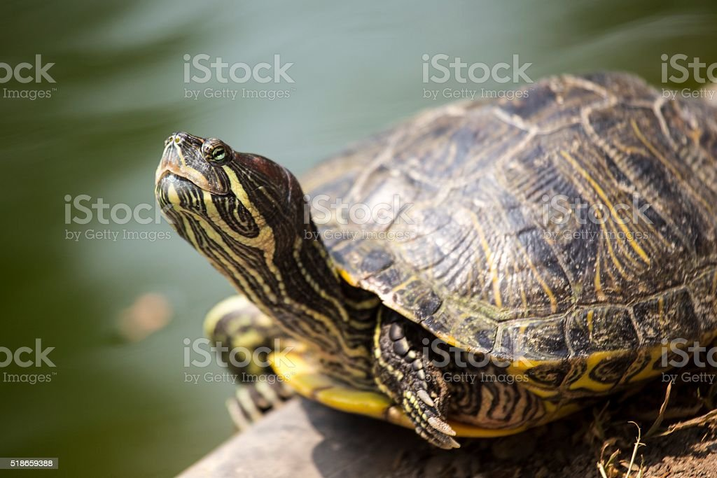 Red Eared Slider Turtle (Trachemys scripta elegans) stock photo