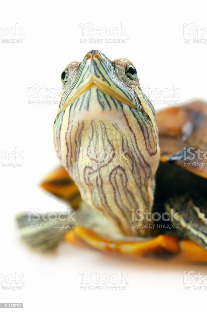 Red Eared Slider Turtle  (Trachemys scripta elegans) royalty-free stock photo