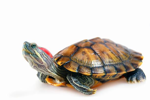 tartaruga-da-orelha-vermelha (trachemys scripta elegans - organismo aquático - fotografias e filmes do acervo