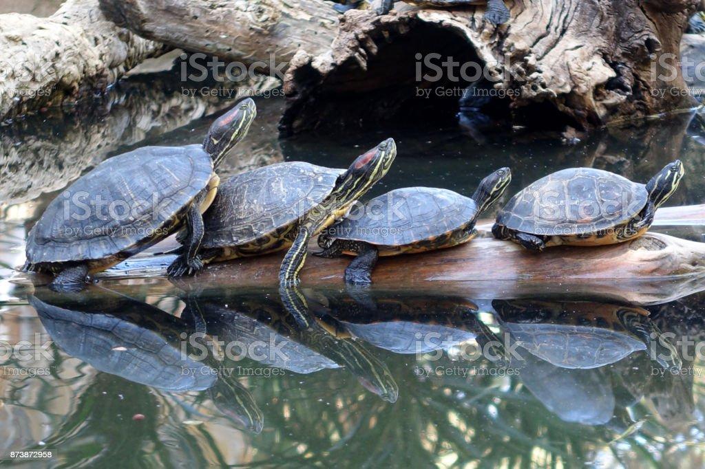 Red Eared Slider Schildkröten Sonnenbaden auf einem Baumstamm – Foto