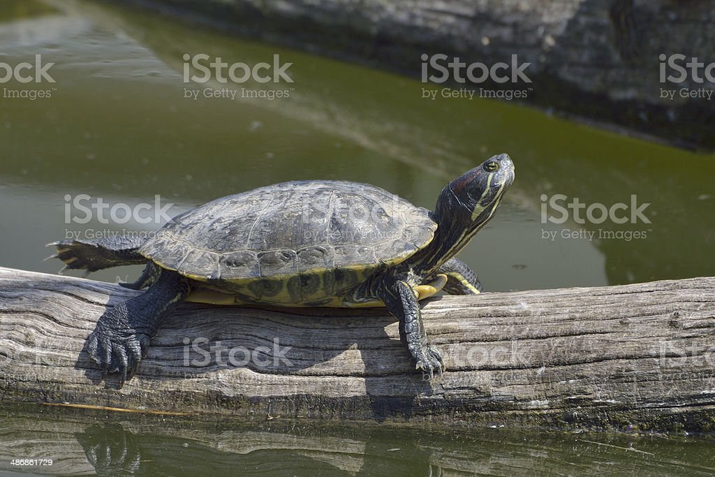 Red eared Terrapin - Trachemys scripta elegans royalty-free stock photo