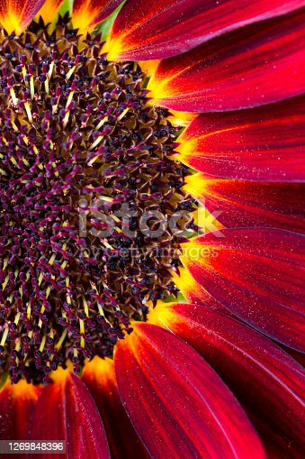 Macro color image depiciting part of a red 'earthwalker' sunflower in bloom.