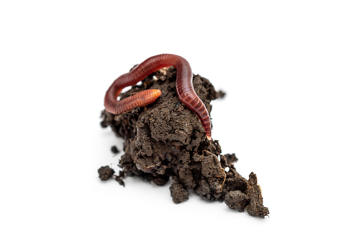 Red earthworm on heap of soil. Isolated on white.