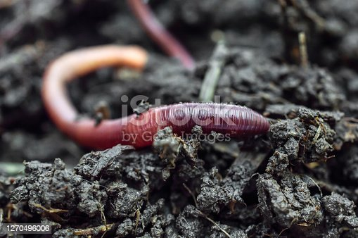 Red earthworms on the compost. Close up.