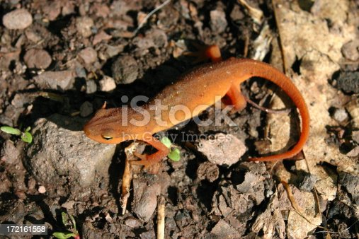 A red newt / salamander (really a red eft) in the Catskills, New York.