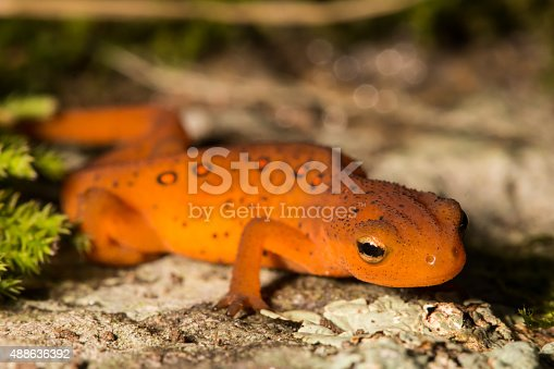 A Red Eft crawling over a mossy stone in the garden.