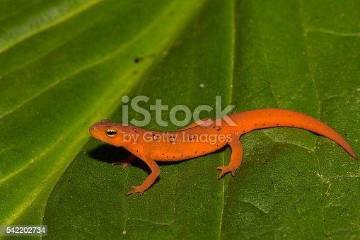 A red eft crawling over a skunk cabbage leaf.