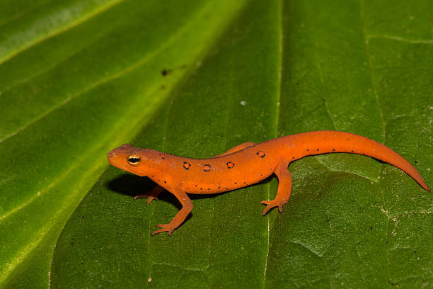 Rouge Eft - Photo