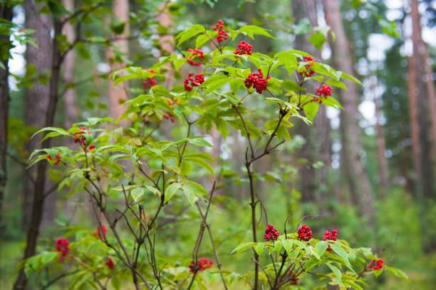 roter holunder (sambucus racemosa) beeren - roter holunder stock-fotos und bilder